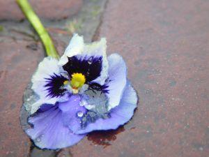117651_tramblet_flower