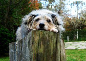 1193776_sad_old_dog
