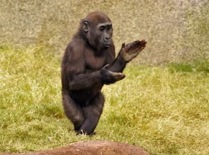 954523_baby_gorilla_walking_and_clapping