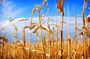 1172235_corn_fields_1
